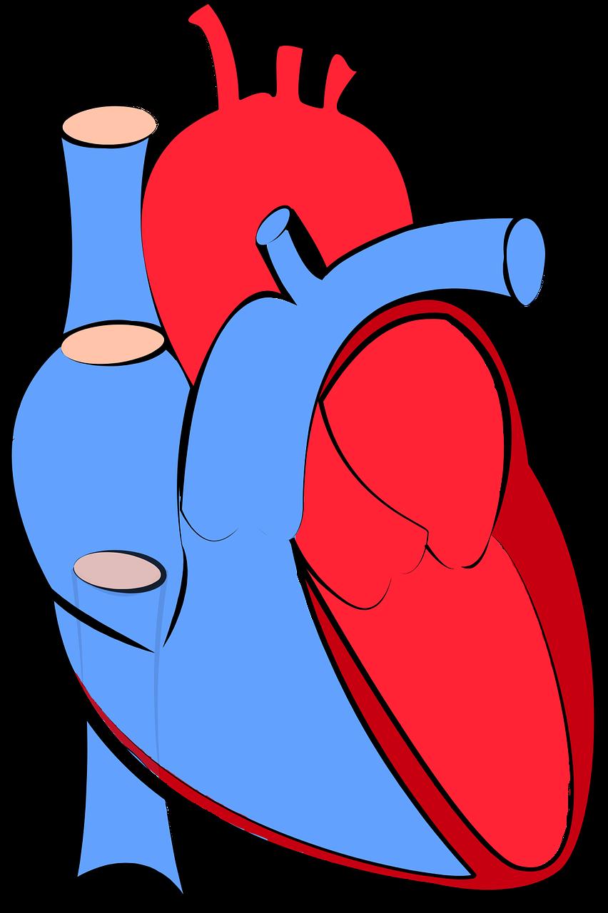 Adopter les bonnes habitudes pour prévenir les maladies cardiovasculaires