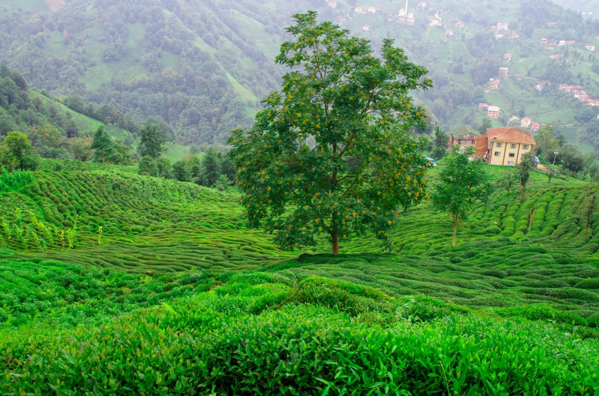 L'huile essentielle de Tea Tree, antibactérienne et salutaire